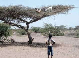 Goats Browsing on top pf tree